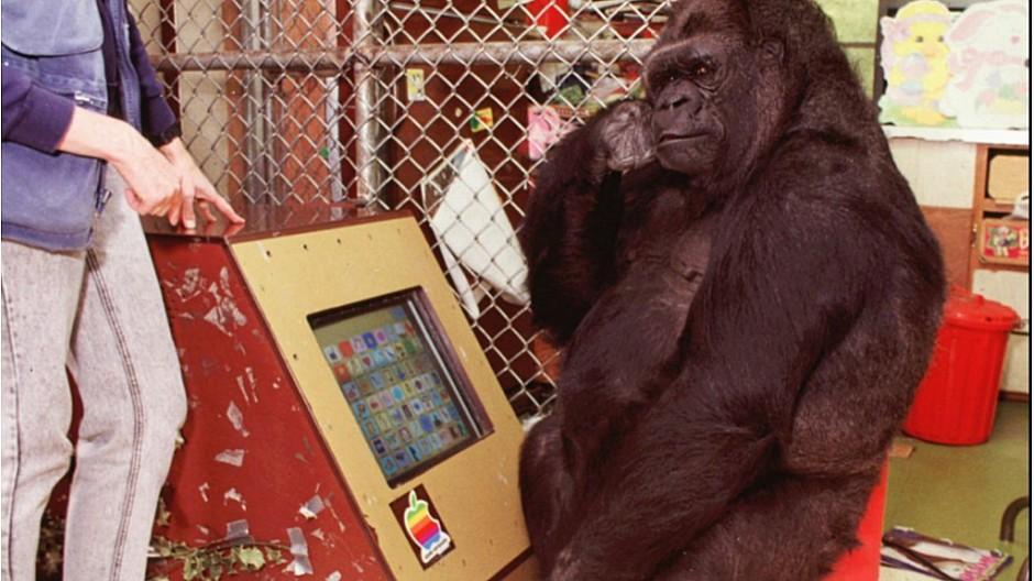 Koko: Für Zeichensprache berühmte Gorilla-Dame tot