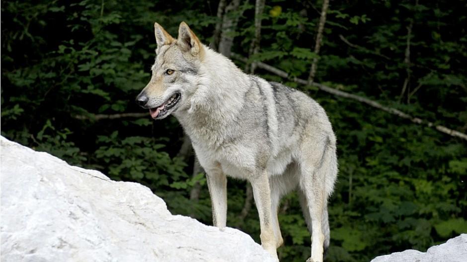 Wildtier-Vermarktung: Wolfsafaris sollen dem Tourismus helfen